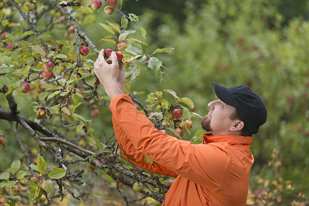 Mies poimii omenoita puusta